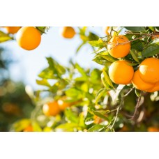 Sweet Orange - Citrus sinensis